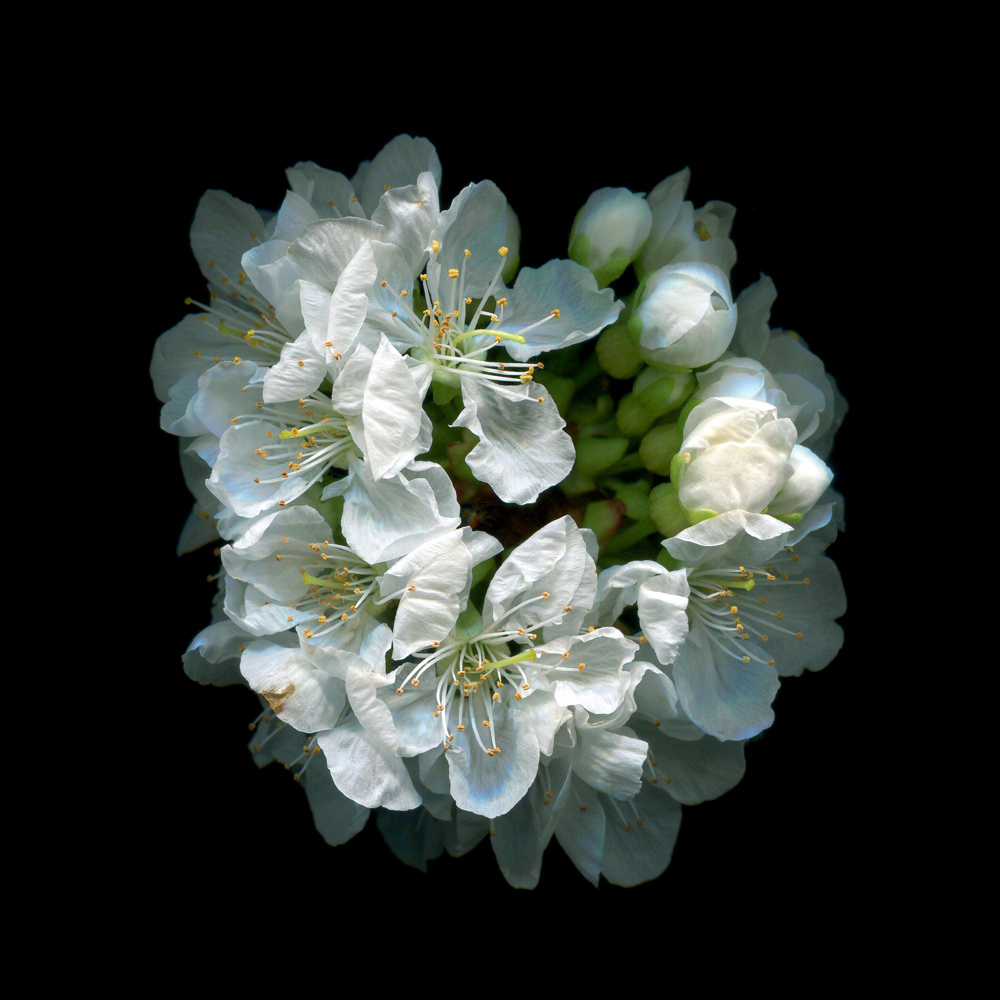 Cherry-bloom-xL