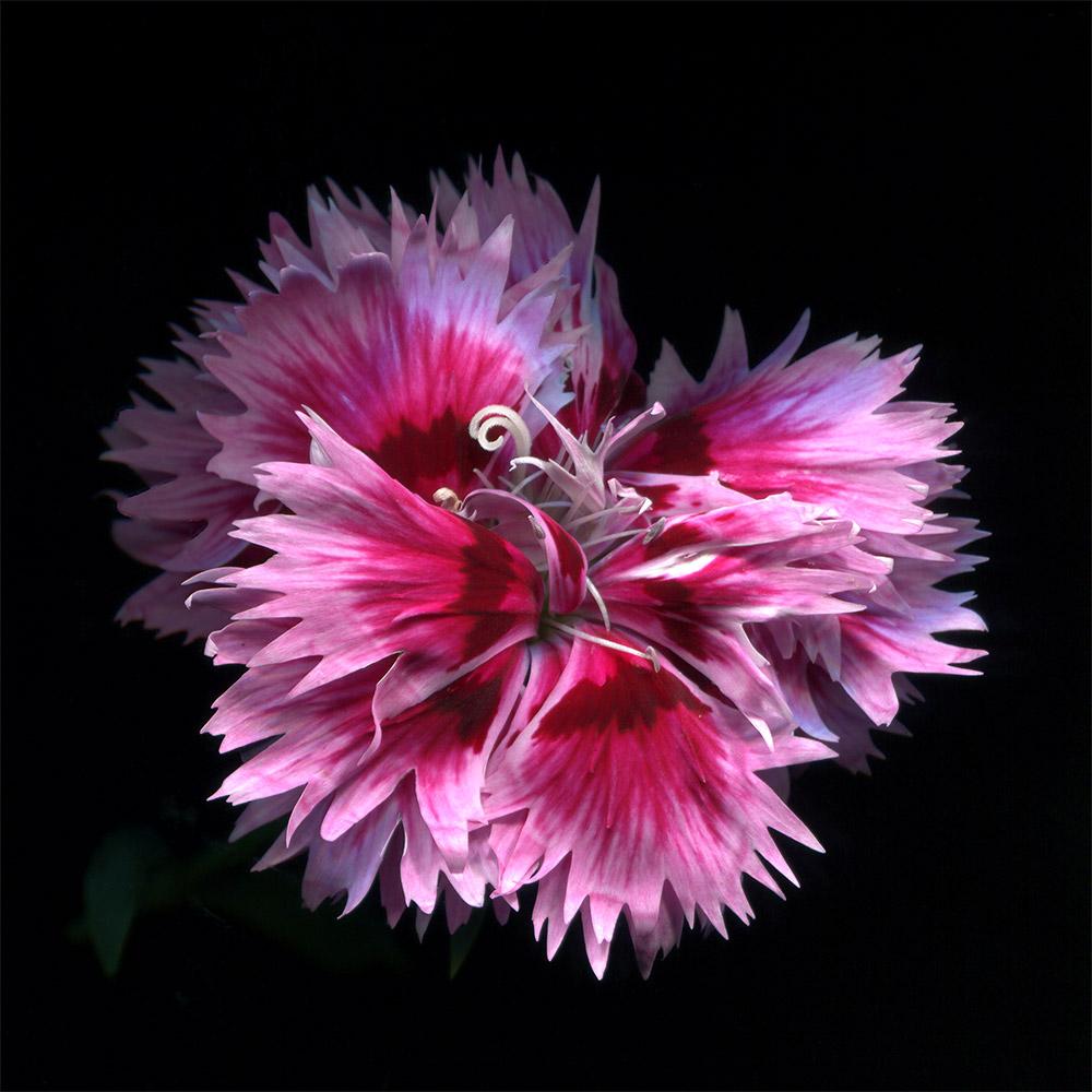 China-Pink